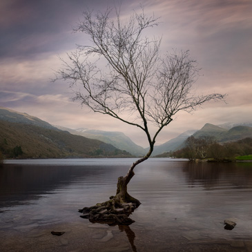 Lone tree on Llyn Padarn